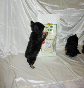best-food-healthy-diet-for-yorkshire-terrier-dog-and-puppy2