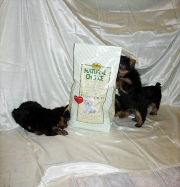 best-food-healthy-diet-for-yorkshire-terrier-dog-and-puppy3