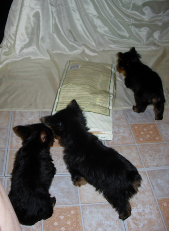 best-food-healthy-diet-for-yorkshire-terrier-dog-and-puppy4
