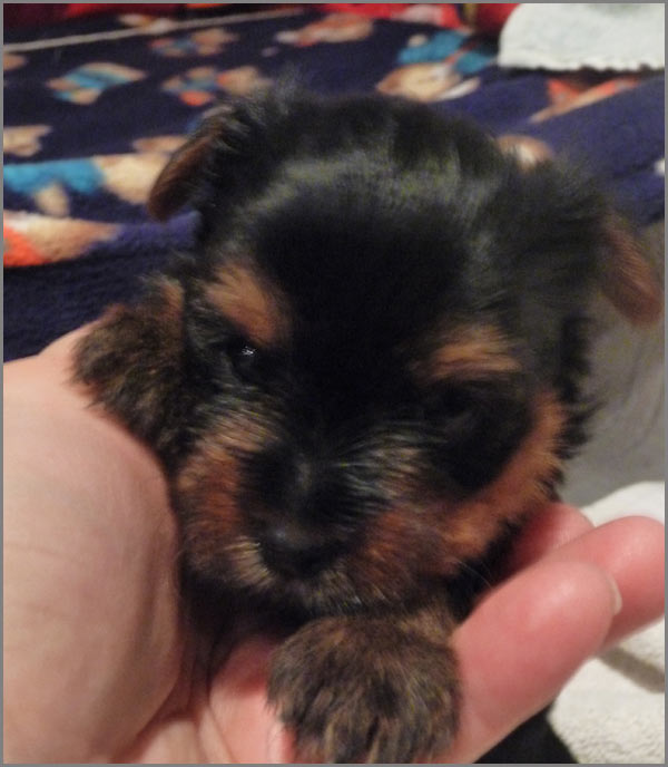 I Want To Buy Teacup Yorkie Miniature Yorkshire Terrier