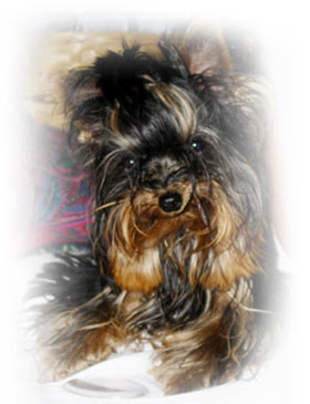female-teacup-yorkshire-mia-8-months-old-thumbnail