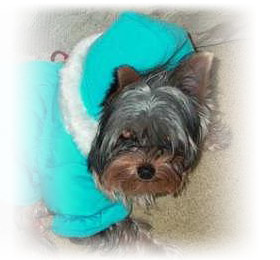 fendi_beautiful_yorkie_female_thumbnail