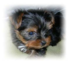 heidi_yorkie-puppy-female-thumbnail