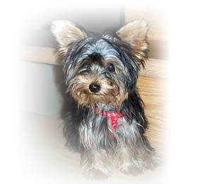 new-home-for-yorkshire-terrier-female-beauty-thumbnail