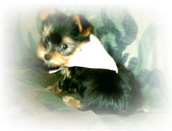 new-home-for-yorkshire-terrier-female-chanelle-thumbnail