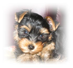new-home-for-yorkshire-terrier-female-charlotte-thumbnail