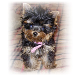new-home-for-yorkshire-terrier-female-mia-thumbnail