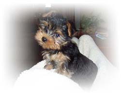 new-home-for-yorkshire-terrier-male-alfi-thumbnail