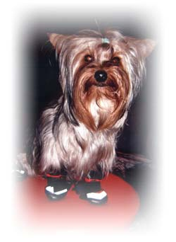 paco-yorkshire-terrier-male-thumbnail