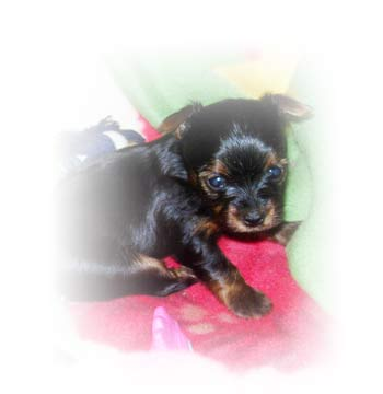 yorkshires-terriers-litter4-female1-thumbnail