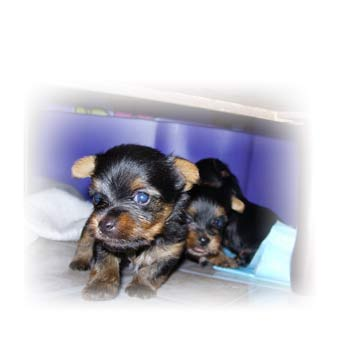 yorkshires-terriers-litter4-male1-thumbnail